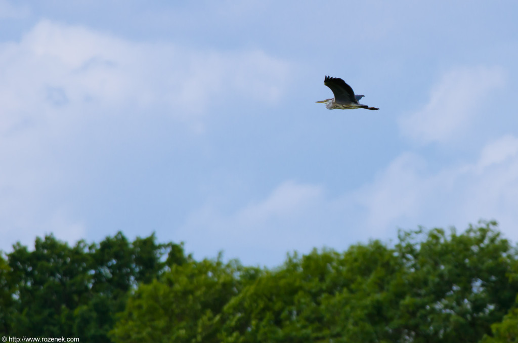 2012.08.05 - Costessey - Bird Photos - 04