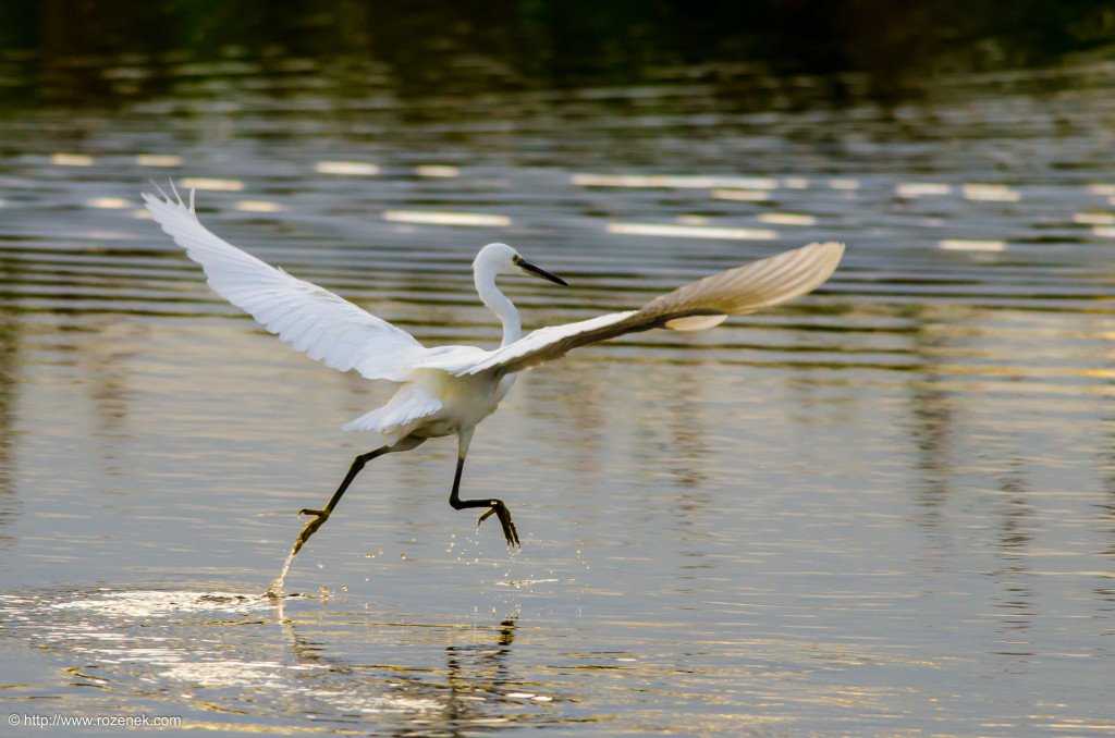 2014.08.30 - Little Egret - 06