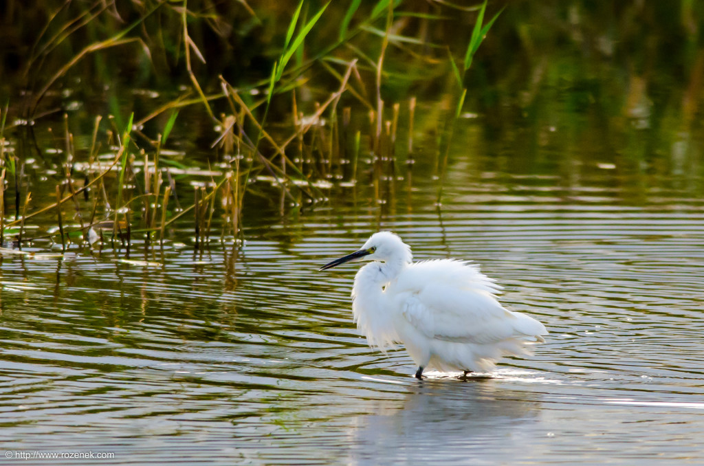 2014.08.30 - Little Egret - 07