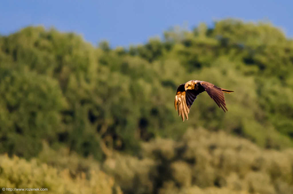 2014.08.30 - Marsh Harrier - 09