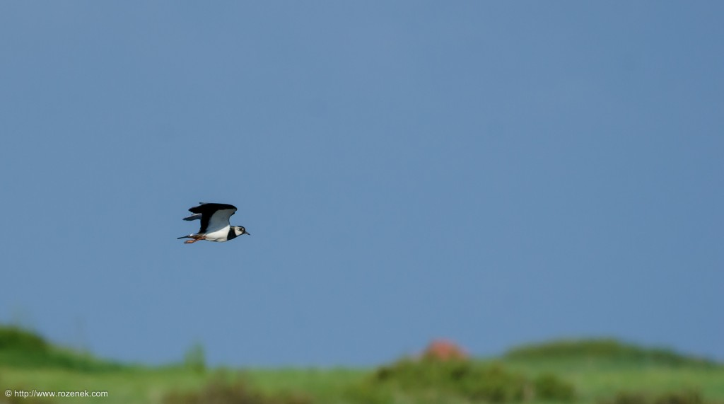 20140615 - 04 - bird photography, northern lapwing