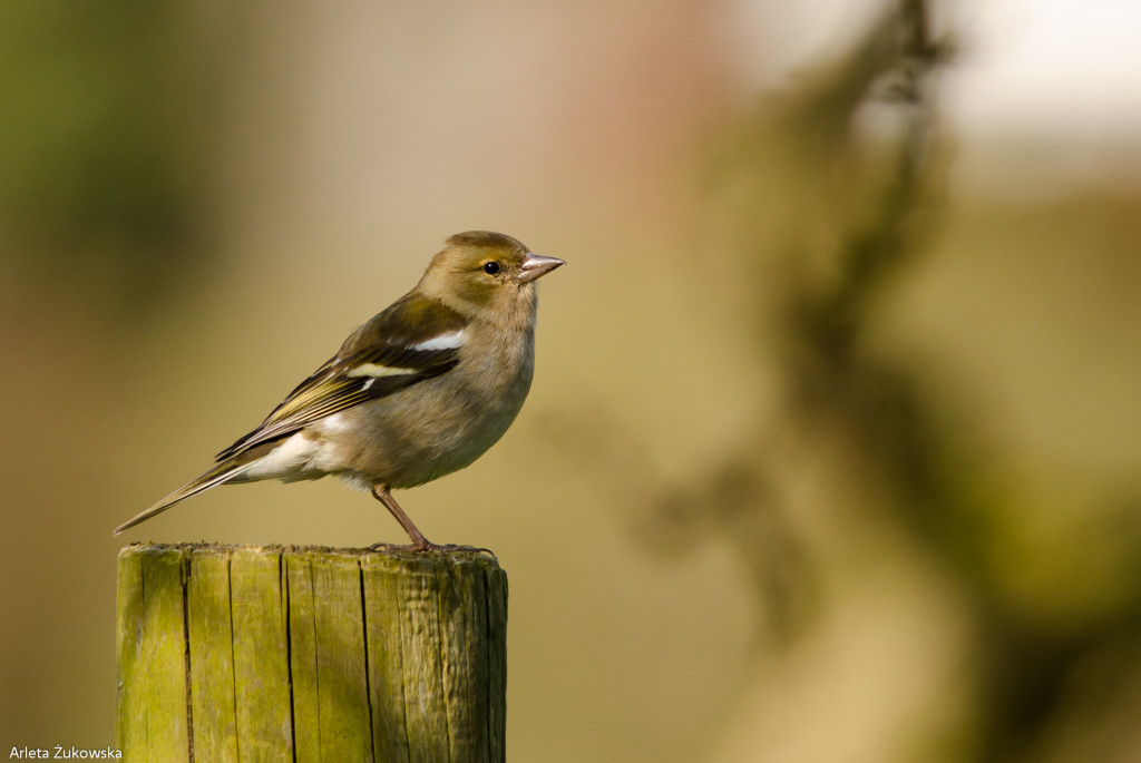 Chaffinch – bird photo gallery - 03