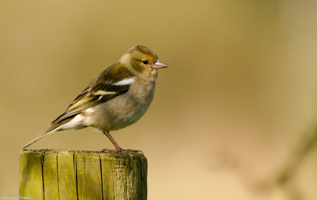 Chaffinch – bird photo gallery - 04