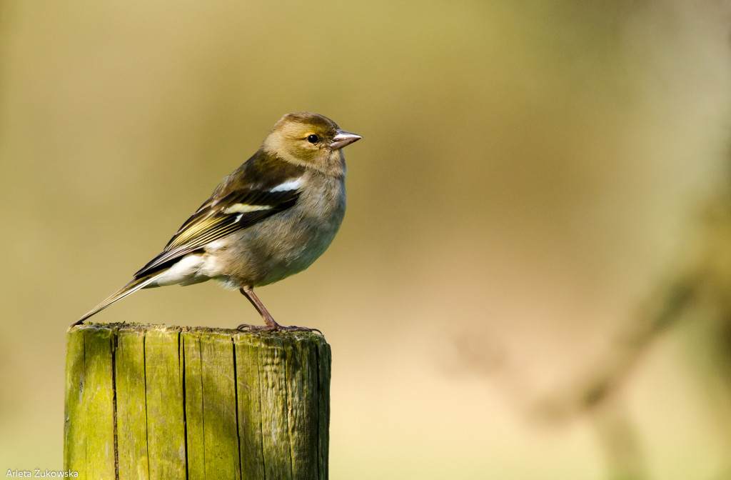 Chaffinch – bird photo gallery - 05