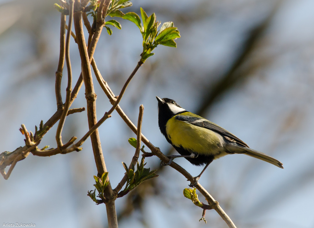 Great Tit - 03