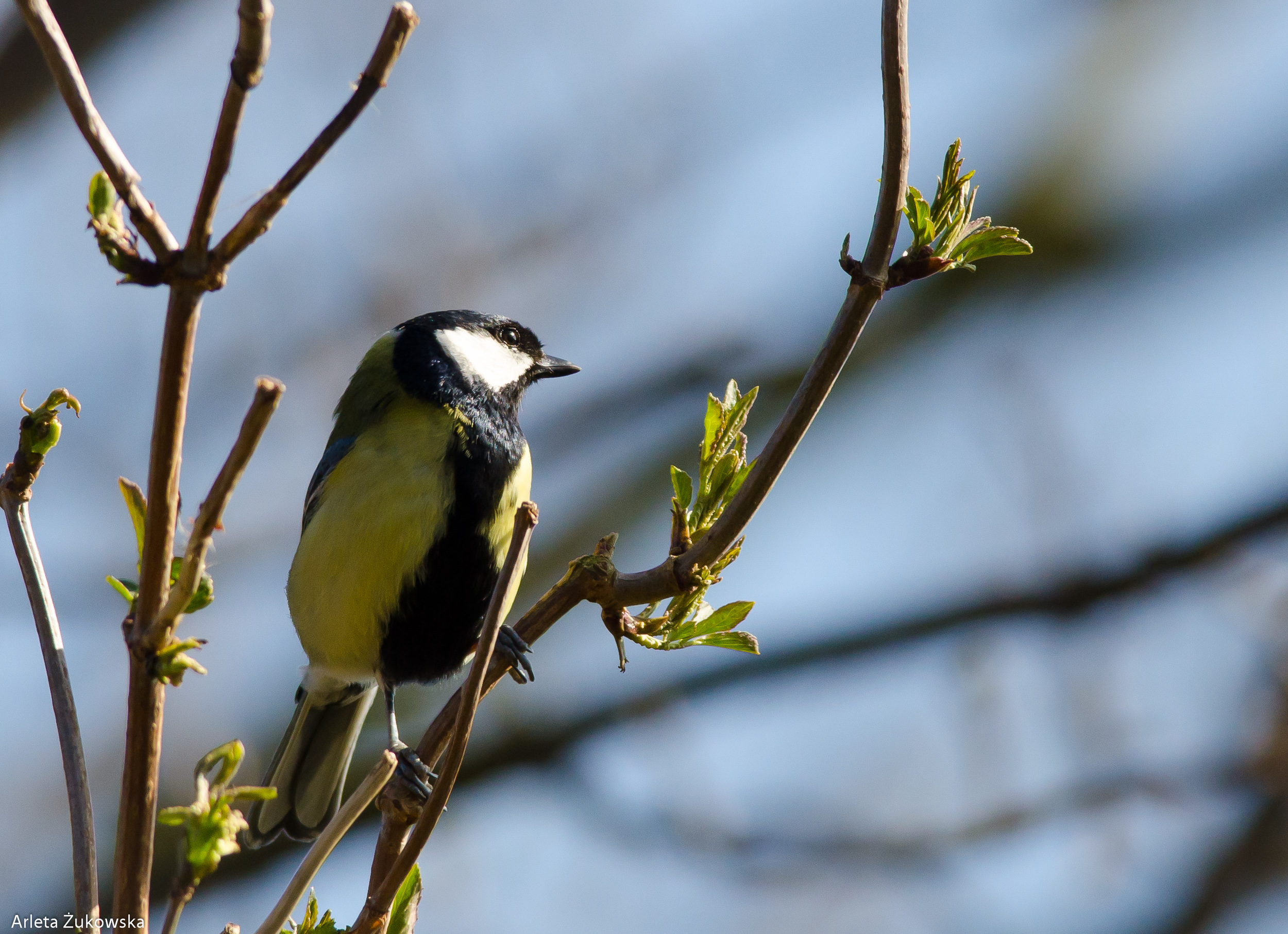Great Tit - 04