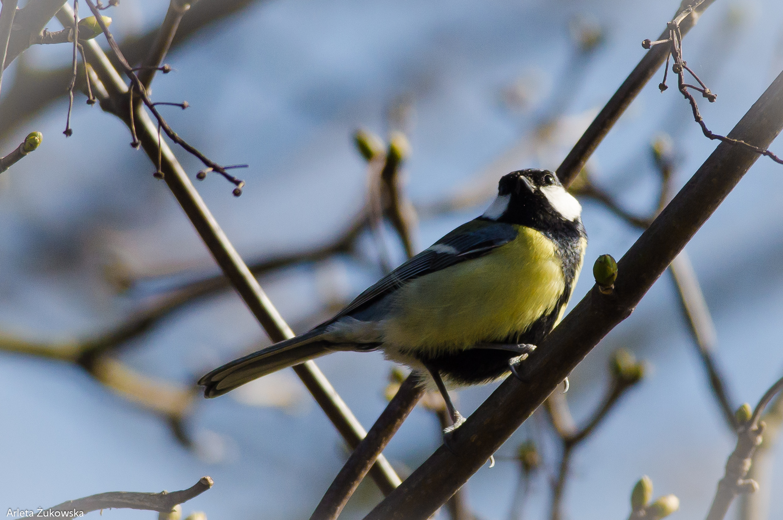 Great Tit - 06