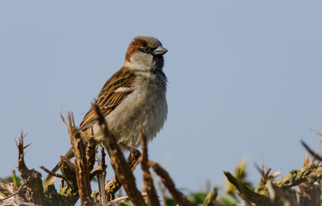 sparrow - bird-gallery