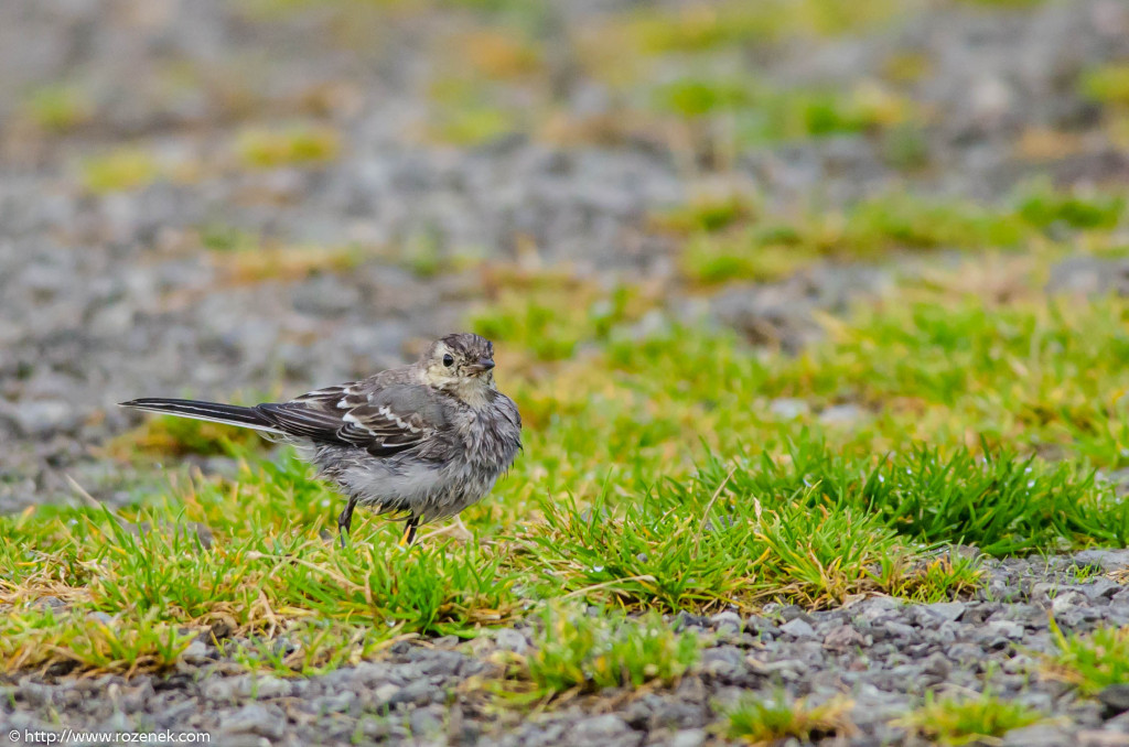 2013.08.29 - Isle of Skye Birds - 10