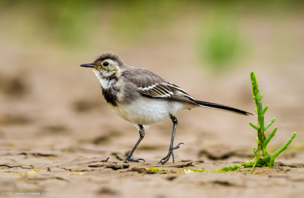 20140622 - 91 - bird photography, White Wagtail