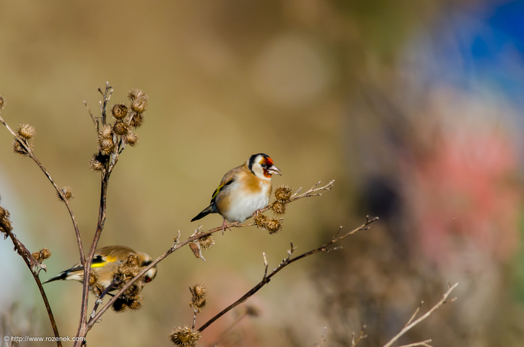 2014.12.06 - Goldfinch - 12