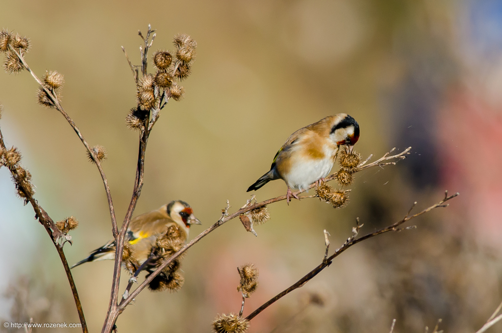 2014.12.06 - Goldfinch - 13