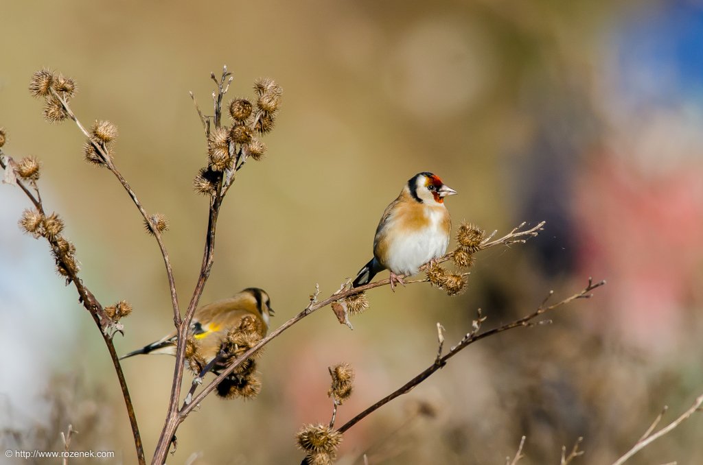 2014.12.06 - Goldfinch - 15