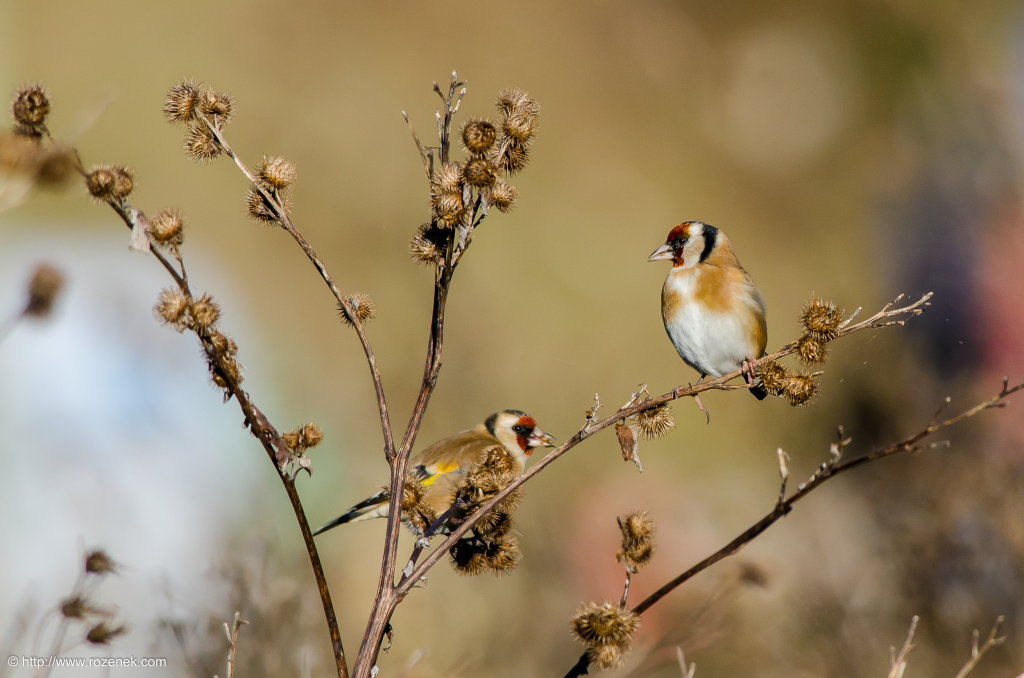 2014.12.06 - Goldfinch - 18