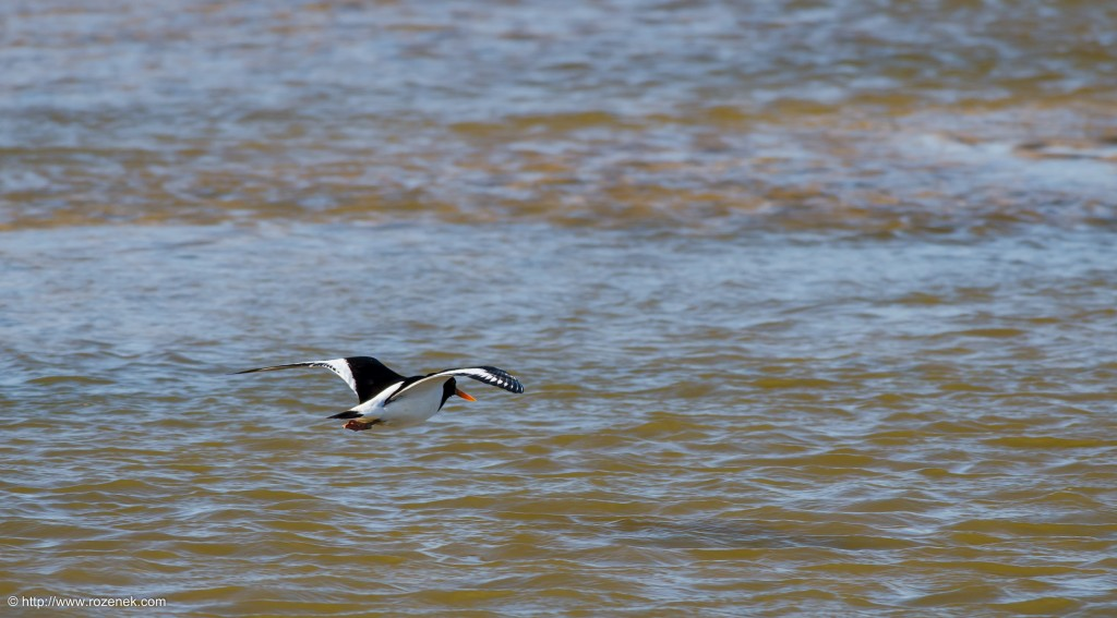 20140615 - 09 - bird photography, oystercatcher