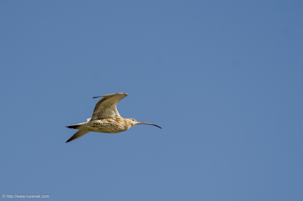 20140615 - 11 - bird photography, curlew