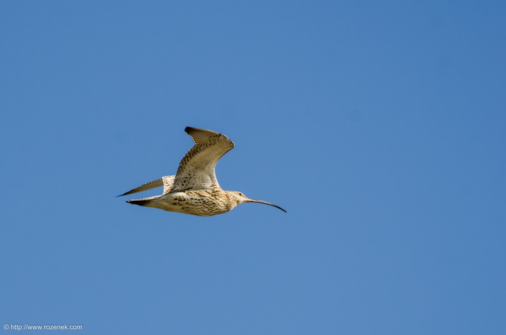20140615 - 12 - bird photography, curlew