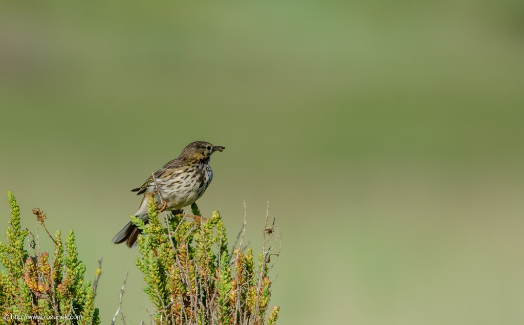20140615 - 15 - bird photography, meadow pipit