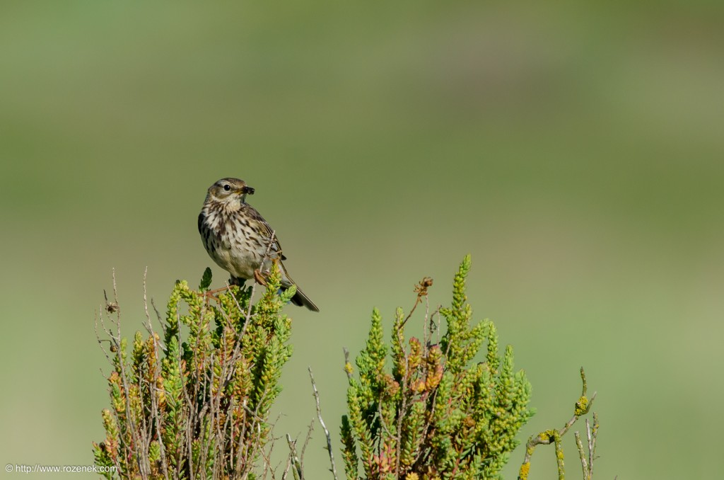 20140615 - 16 - bird photography, meadow pipit