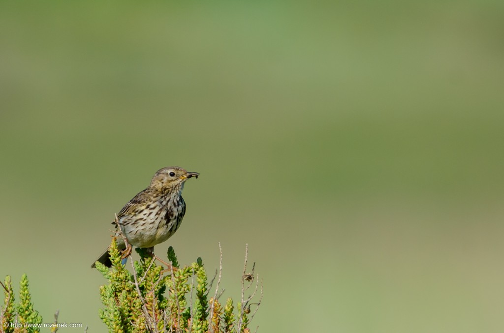 20140615 - 17 - bird photography, meadow pipit