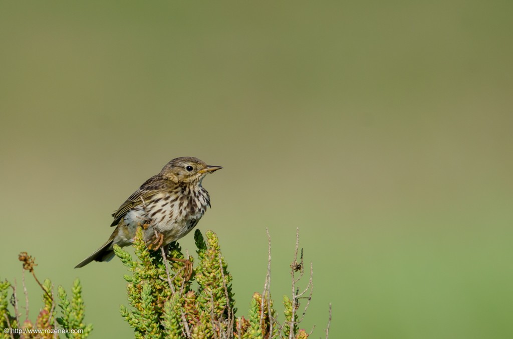 20140615 - 21 - bird photography, meadow pipit