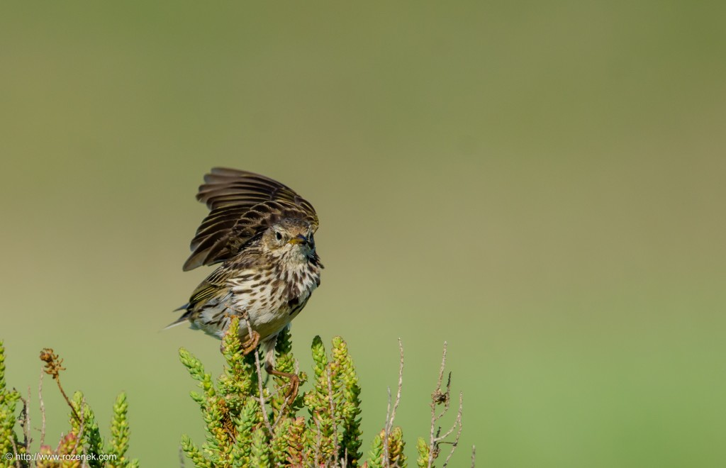 20140615 - 22 - bird photography, meadow pipit
