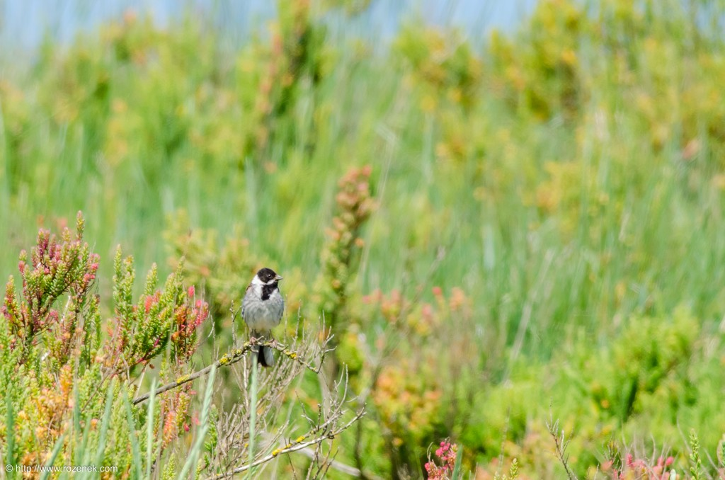 20140621 - 46 - bird photography, reed bunting