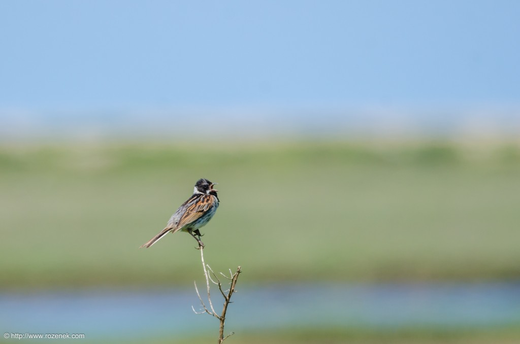 20140621 - 50 - bird photography, reed bunting - full