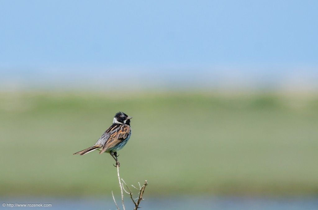 20140621 - 51 - bird photography, reed bunting - full
