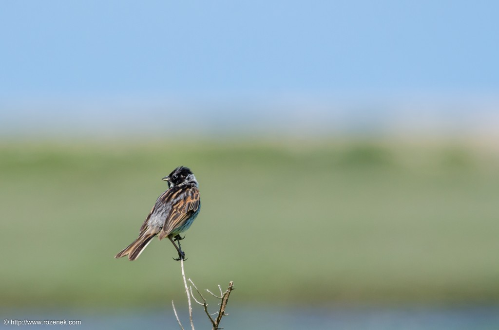 20140621 - 52 - bird photography, reed bunting - full
