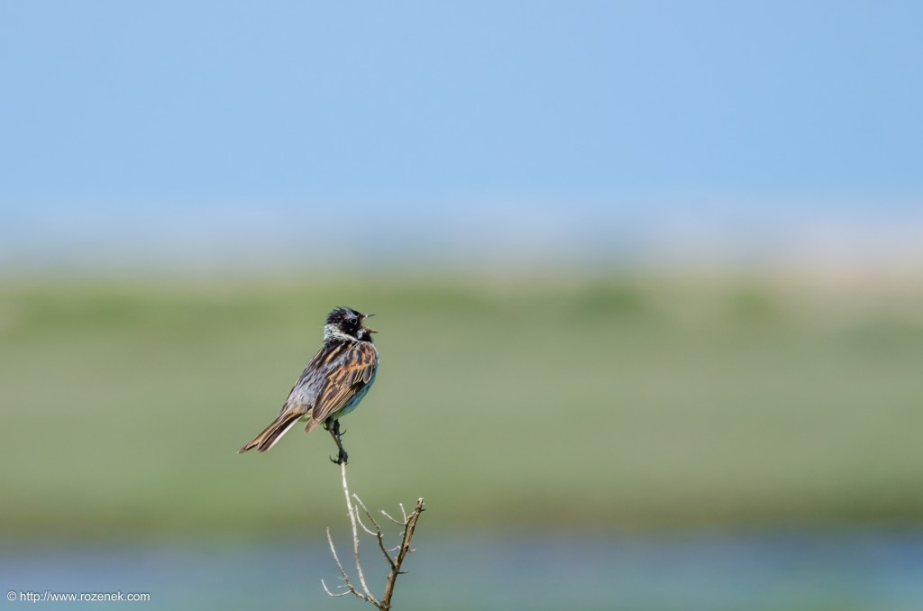 20140621 - 53 - bird photography, reed bunting - full