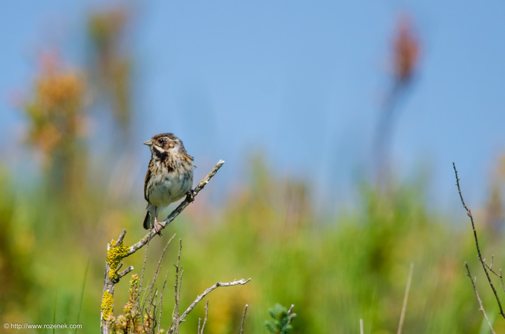 20140621 - 56 - bird photography, reed bunting