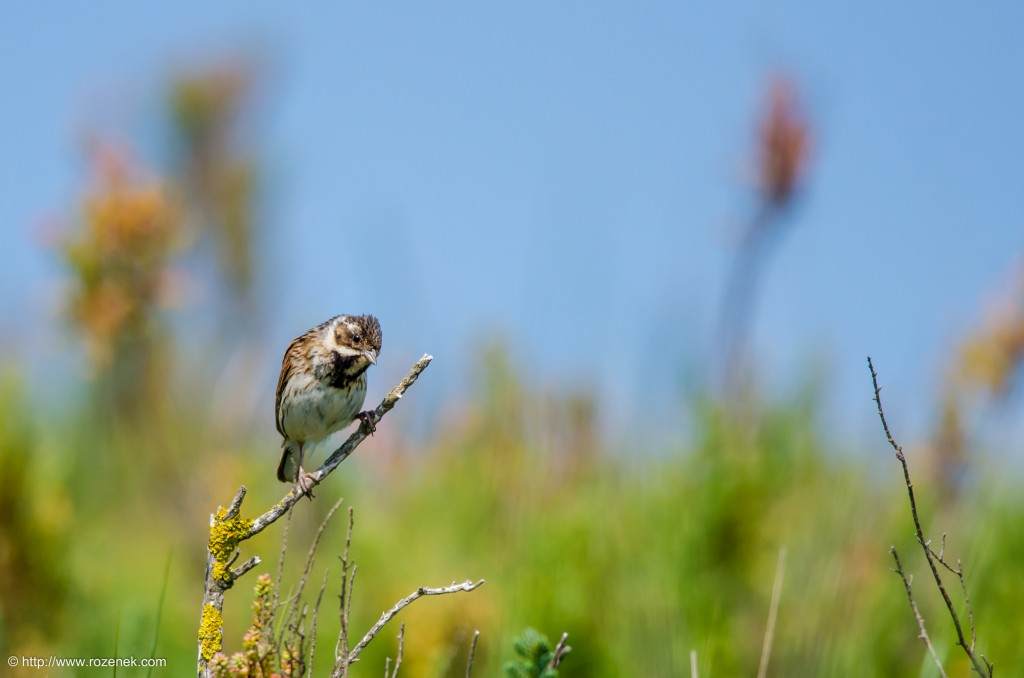 20140621 - 57 - bird photography, reed bunting