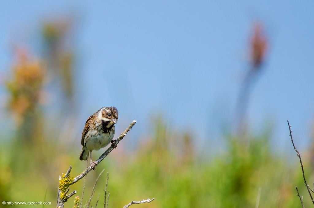 20140621 - 58 - bird photography, reed bunting