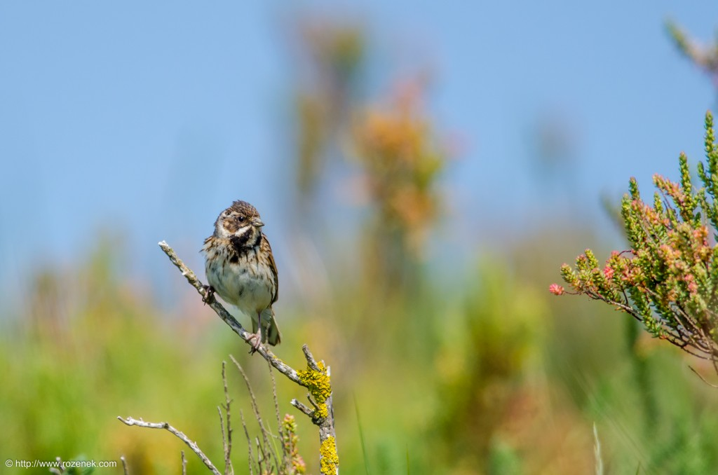 20140621 - 59 - bird photography, reed bunting