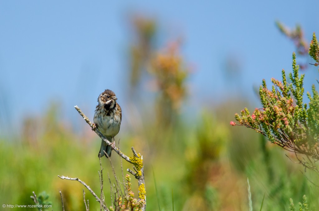 20140621 - 60 - bird photography, reed bunting