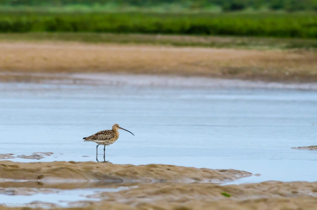20140622 - 80 - bird photography, curlew