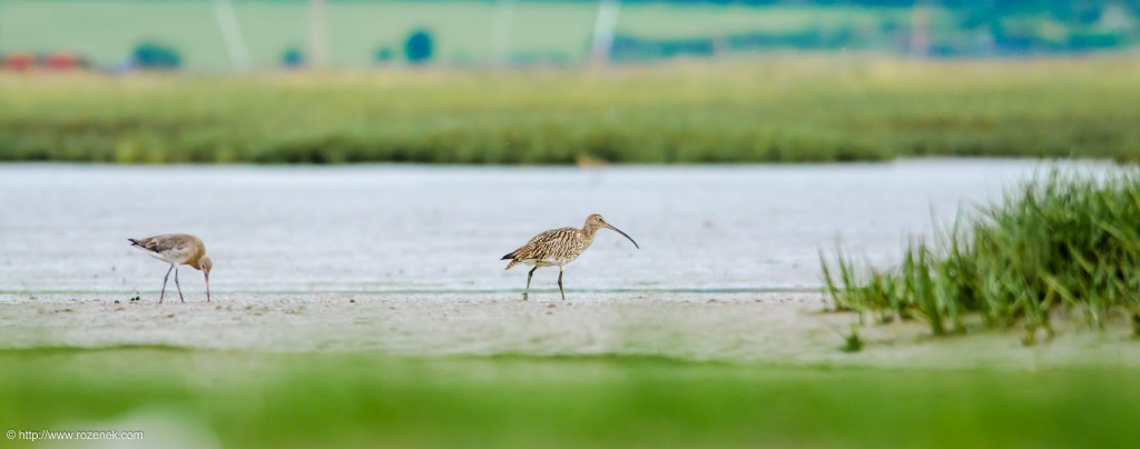 20140622 - 83 - bird photography, curlew