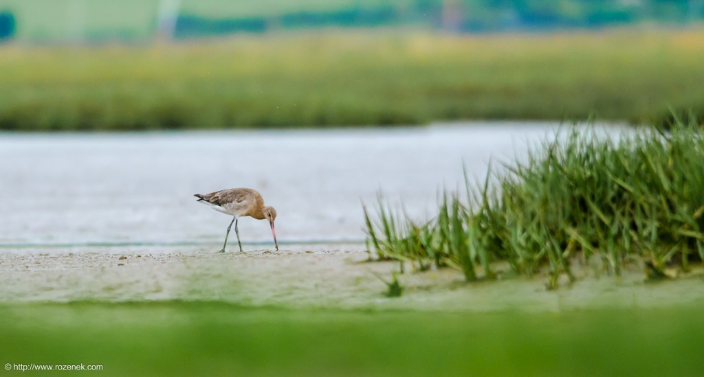 20140622 - 85 - bird photography, Black-tailed godwit