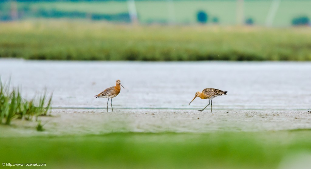 20140622 - 87 - bird photography, Black-tailed godwit