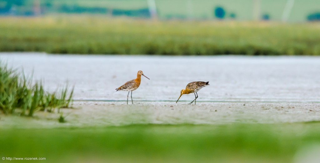 20140622 - 88 - bird photography, Black-tailed godwit