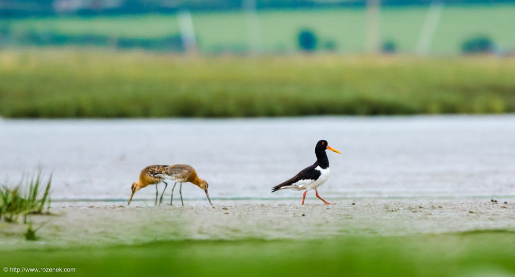 20140622 - 89 - bird photography, Black-tailed godwit, oystercatcher