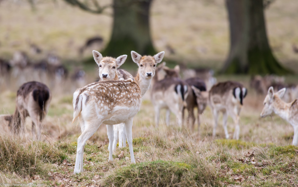 2015.03.21 - Petworth Park (Deers) - 07