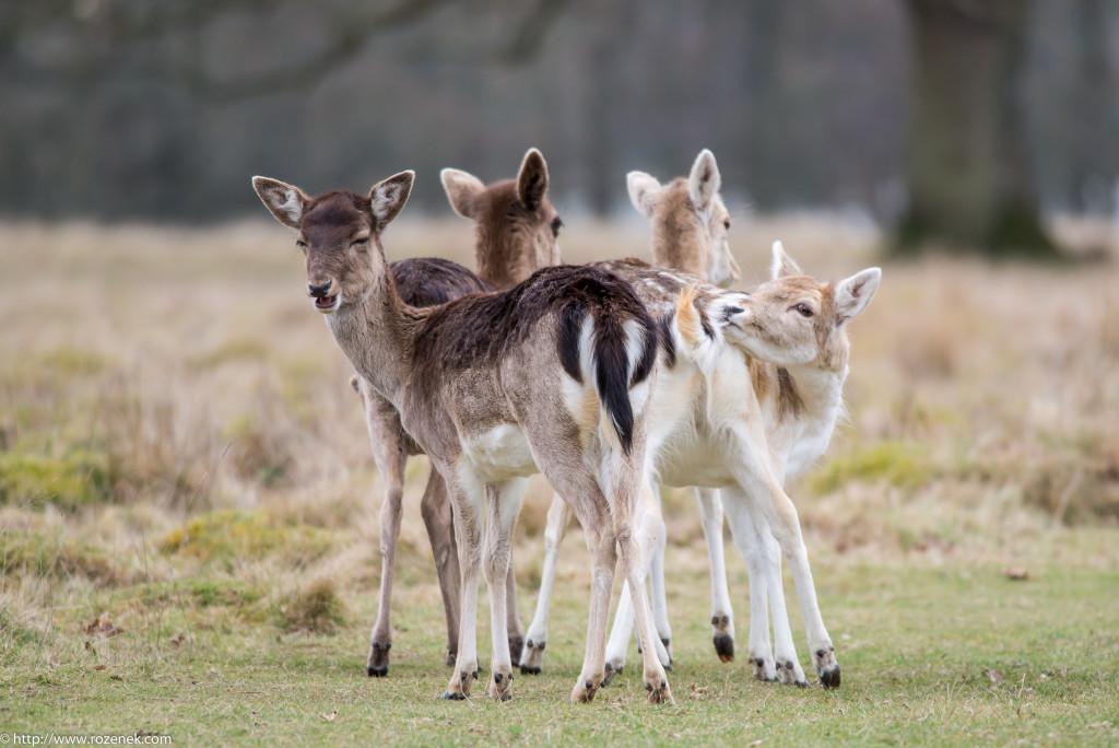 2015.03.21 - Petworth Park (Deers) - 10