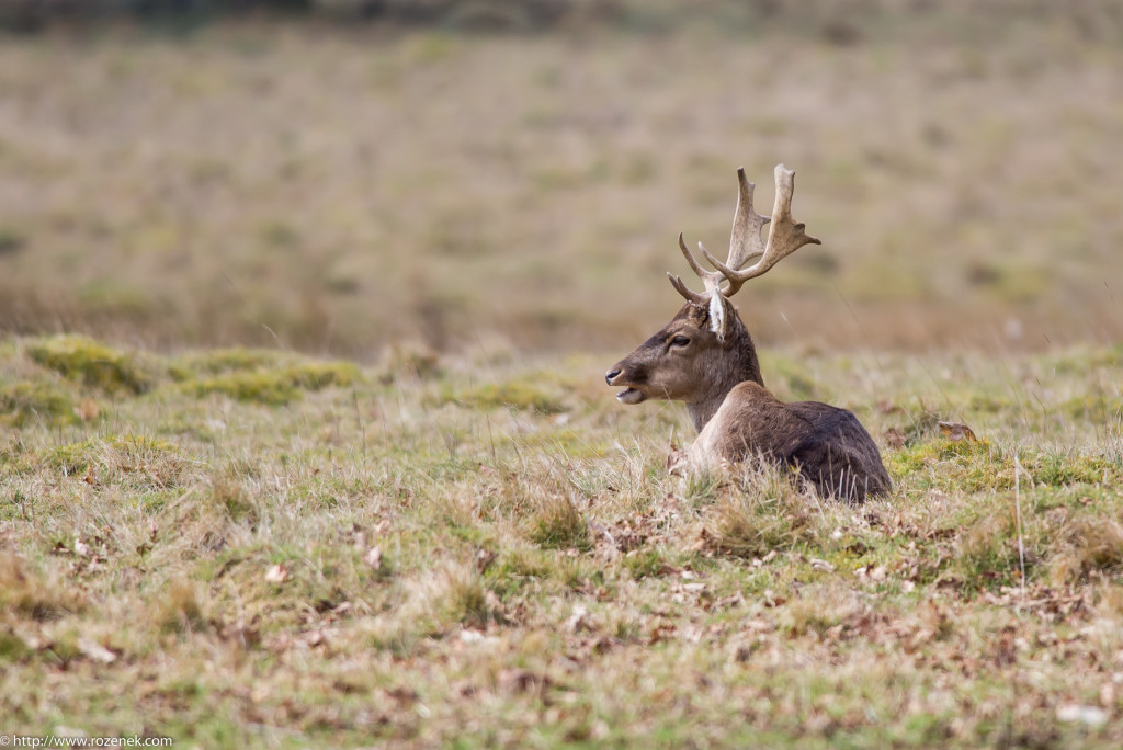 2015.03.21 - Petworth Park (Deers) - 13