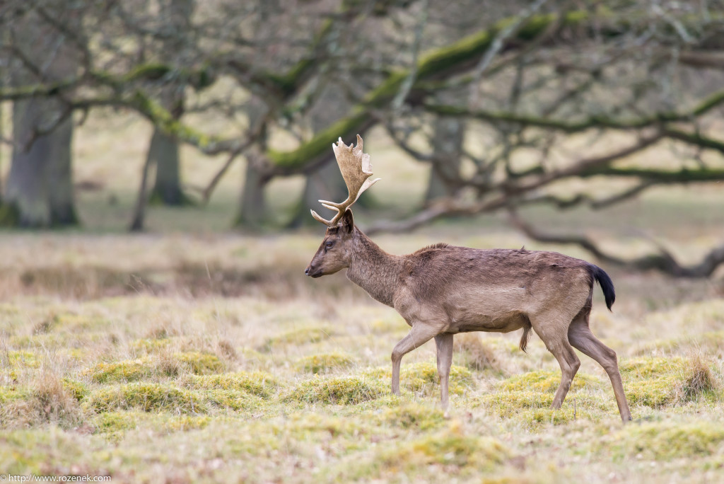 2015.03.21 - Petworth Park (Deers) - 14