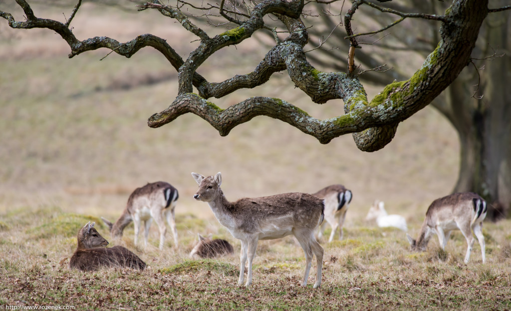2015.03.21 - Petworth Park (Deers) - 15