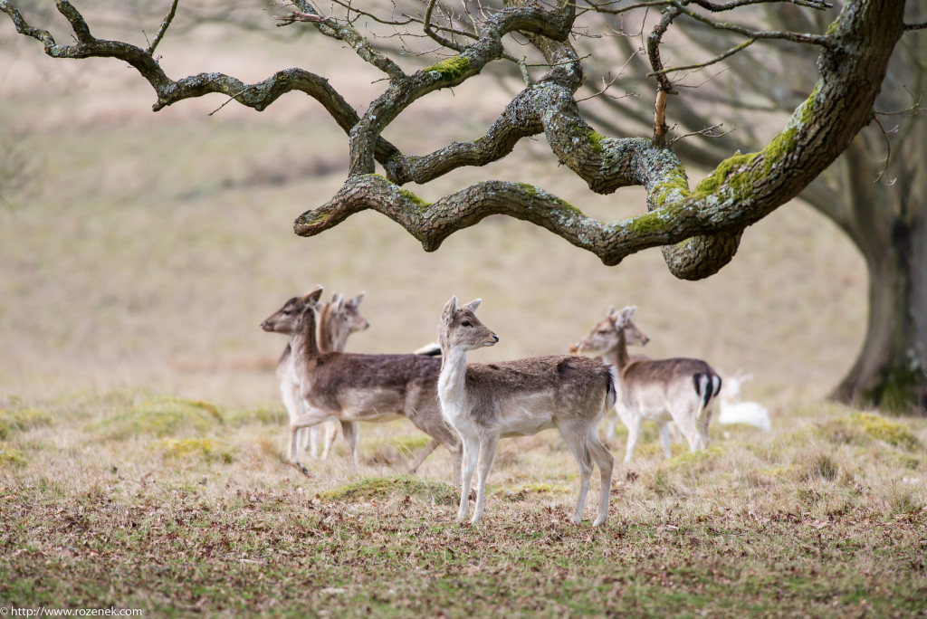 2015.03.21 - Petworth Park (Deers) - 16
