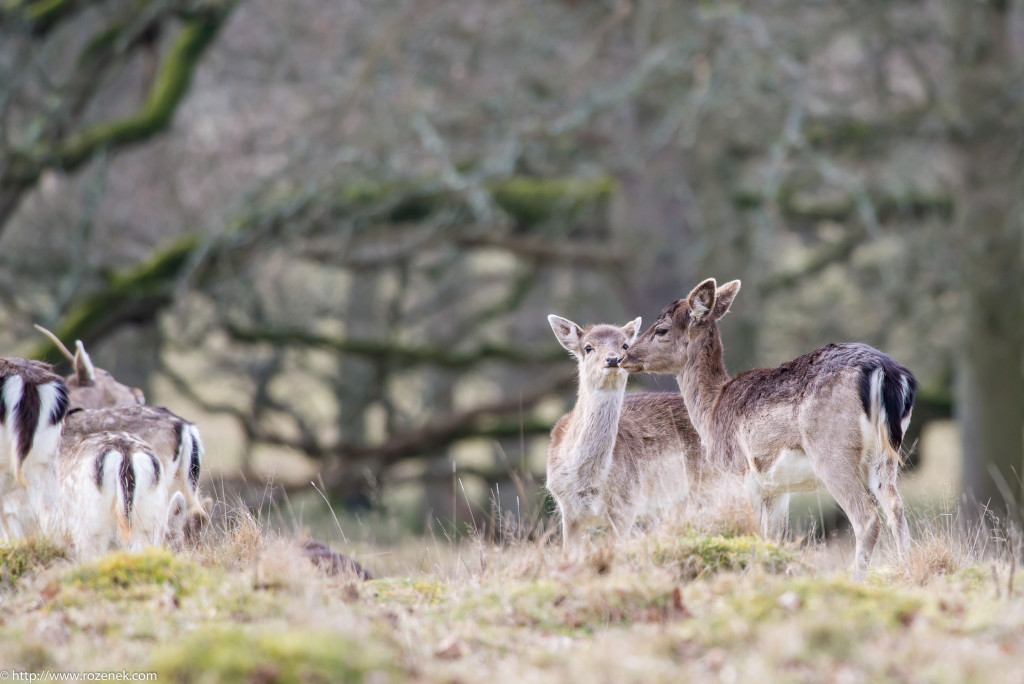 2015.03.21 - Petworth Park (Deers) - 17