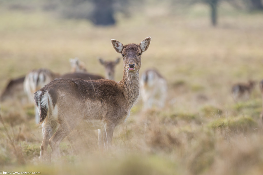 2015.03.21 - Petworth Park (Deers) - 18